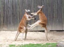 kangaroos-fighting