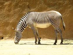 Amazing Animal Facts - Zebras (with video)